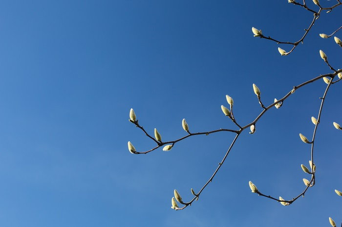 Magnolia Trees Growing Pruning And Care Daves Garden