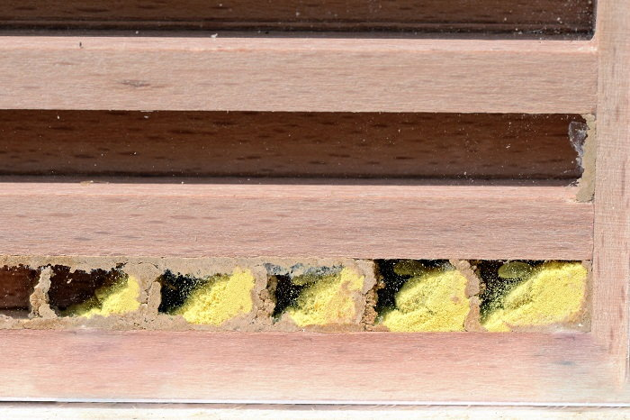 mason bee larvae