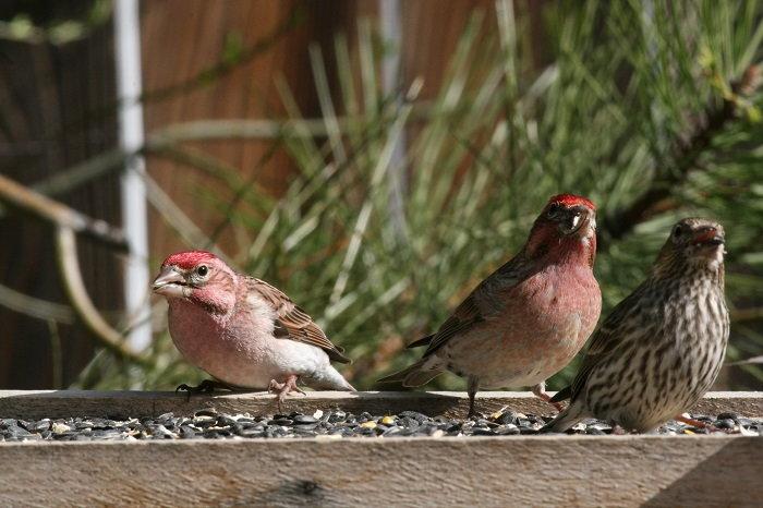 finches at a bird feeder