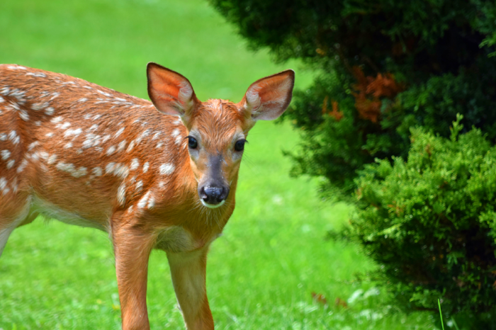 fawn standing on lawn
