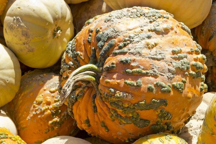 hybrid knucklehead pumpkin