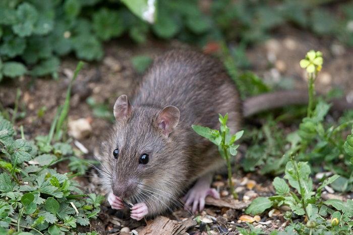 A Norway (brown) rat
