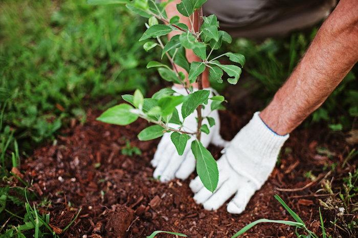 planting a tree seedling