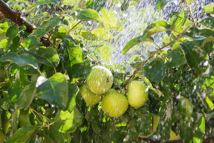 it's important to give your fruit trees plenty of water