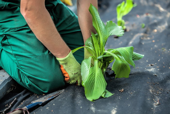 Planting through a weed barrier