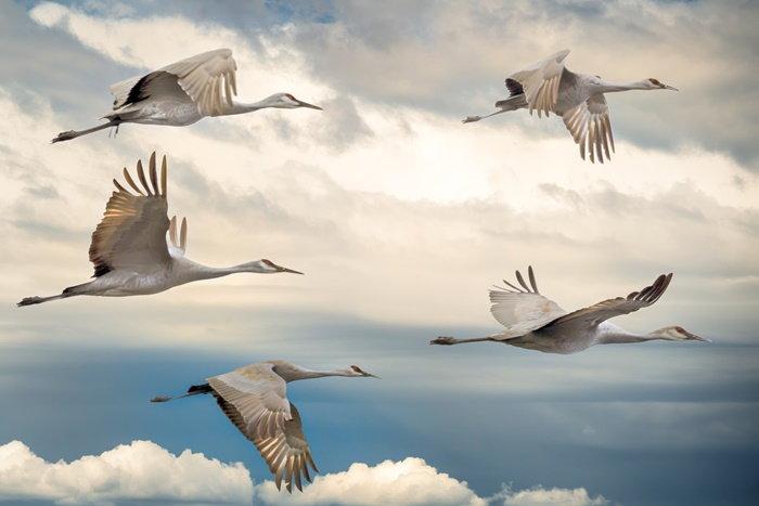 migrating sandhill cranes