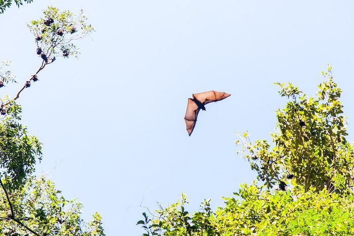bat flying against the sky