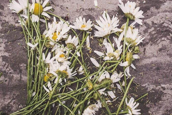 cut daisy blooms