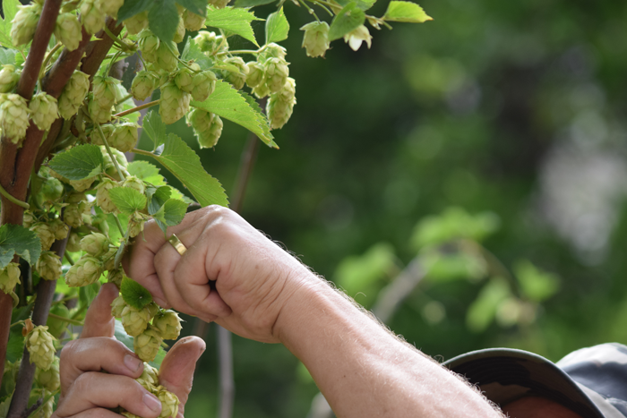 Hops flowers being harvested by hand