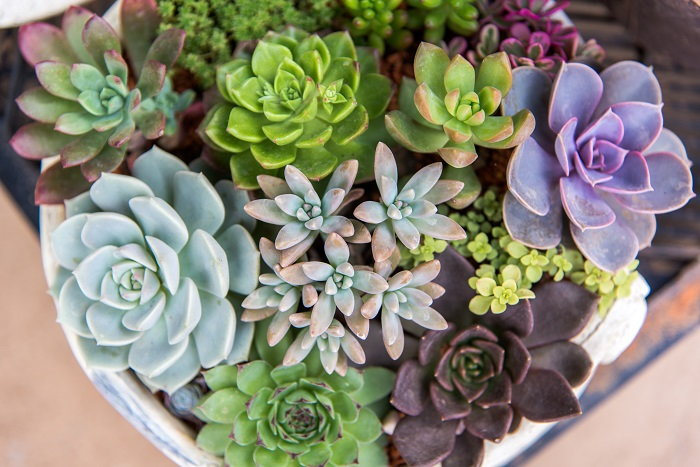 succulents, examples of low-maintenance plants