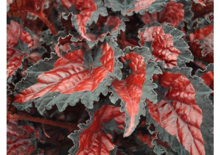 red rex begonia with wide dark edges