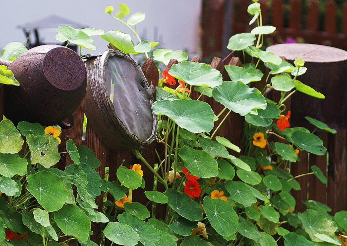 rustic setting with nasturtiums