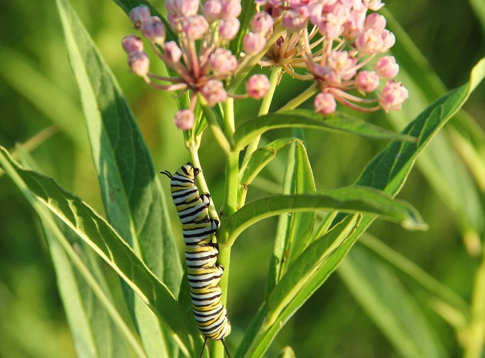 monarch caterpillar on swamp milkweed