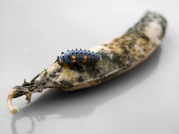 beetle on sweet pea pod
