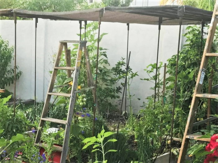 old ladder as a tomato support