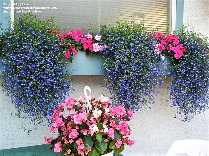 colorful blue and pink trailing plants