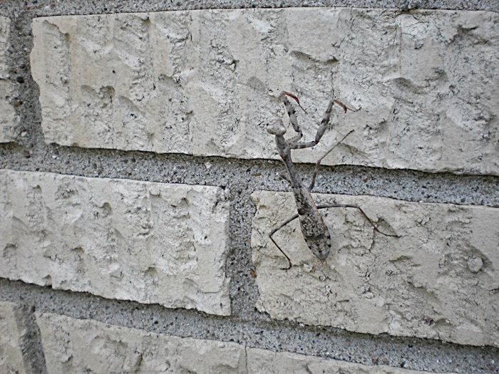 praying mantis on brick