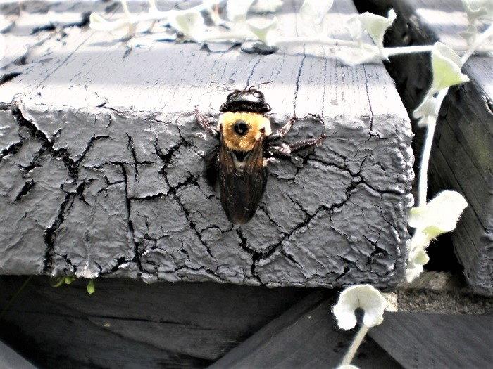 bumblebee on stump