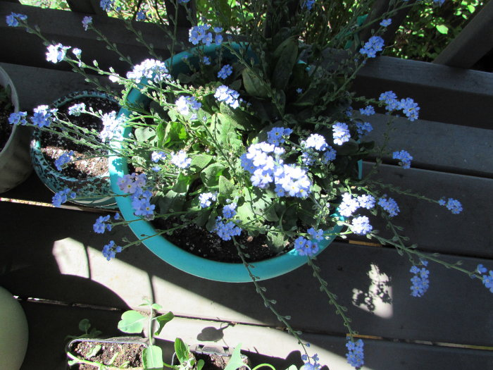 container of forget me nots on author's deck