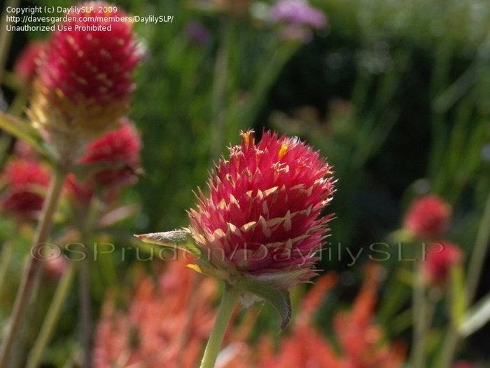 strawberry gomphrena