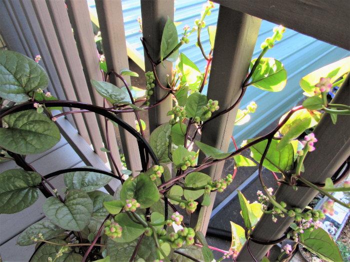 malabar spinach on a deck