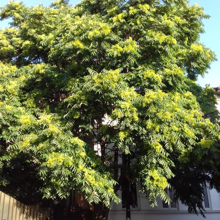 Tree of heaven with female seed clusters