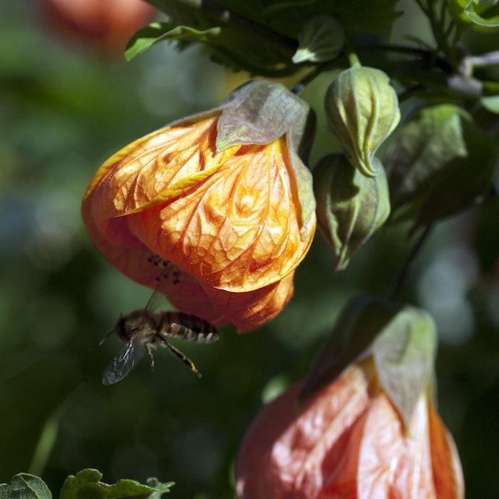 Pollinators love Abutilon flowers