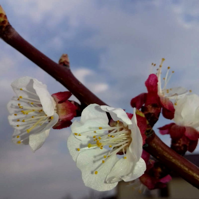 Apricot branch with flowers