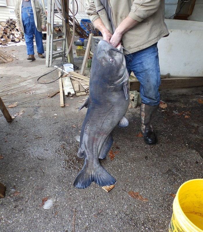 fisherman holding a giant catfish