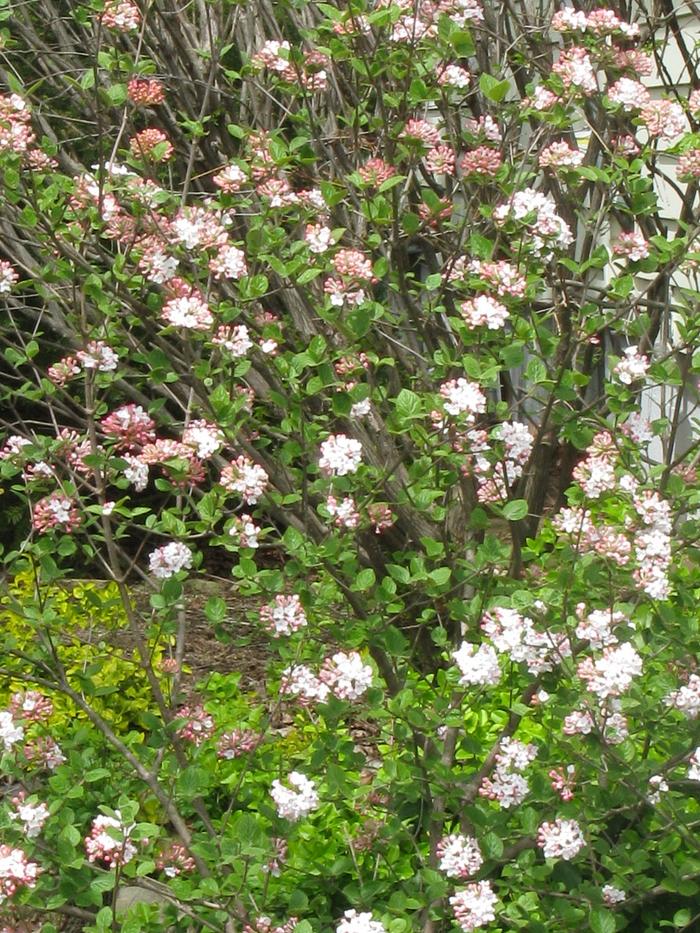 Viburnum carlesi