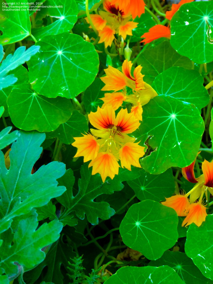golden fringed nasturtiums