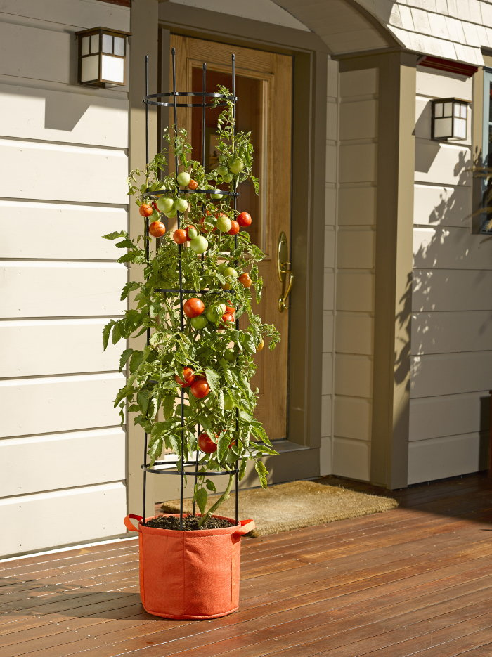 tomato plant in grow bag
