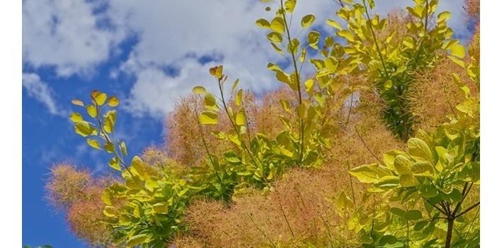 cotinus plantfiles