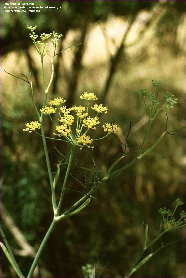 yellow fennel bloom