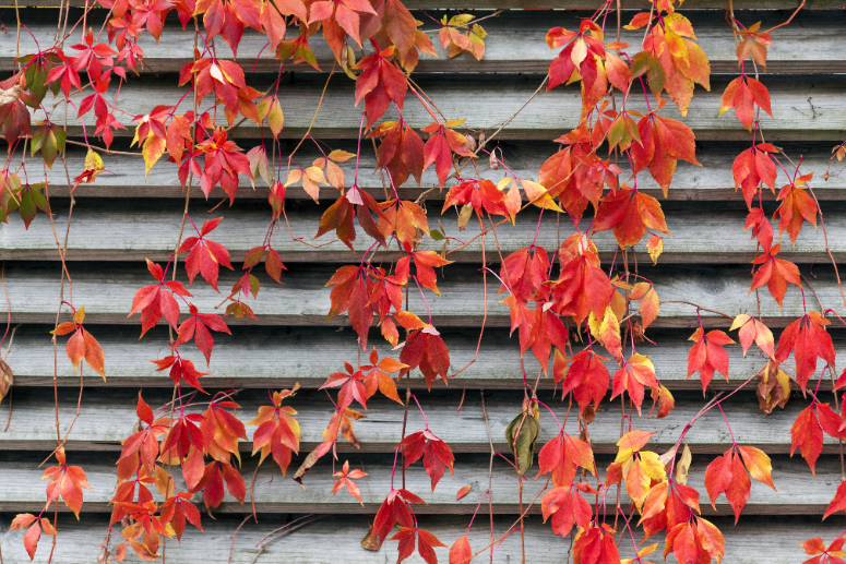 Red Virginia Creeper leaves in front of a gray wall