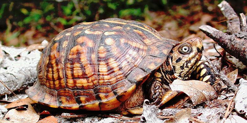 box turtle in leaf litter