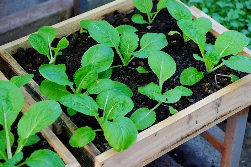 tabletop lettuce garden