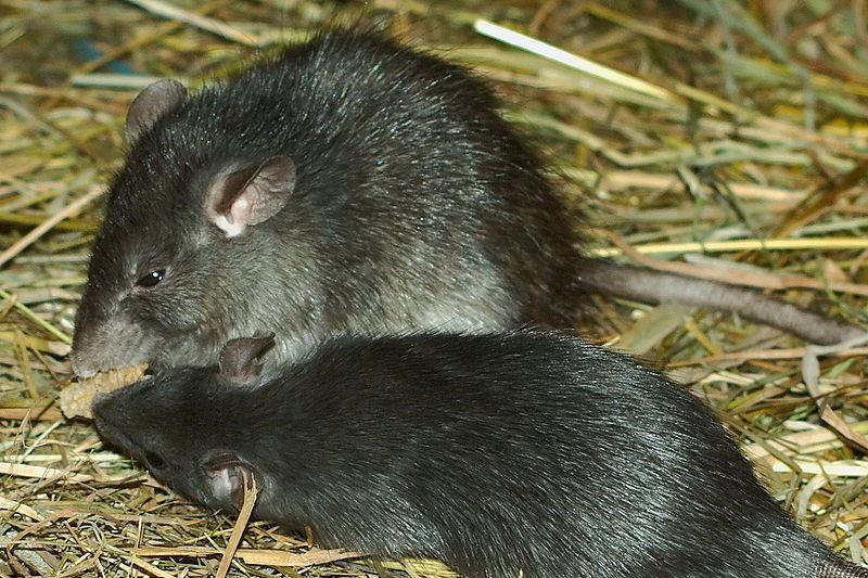 rats eating food