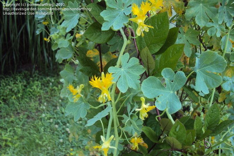 fringed yellow nasturtiums