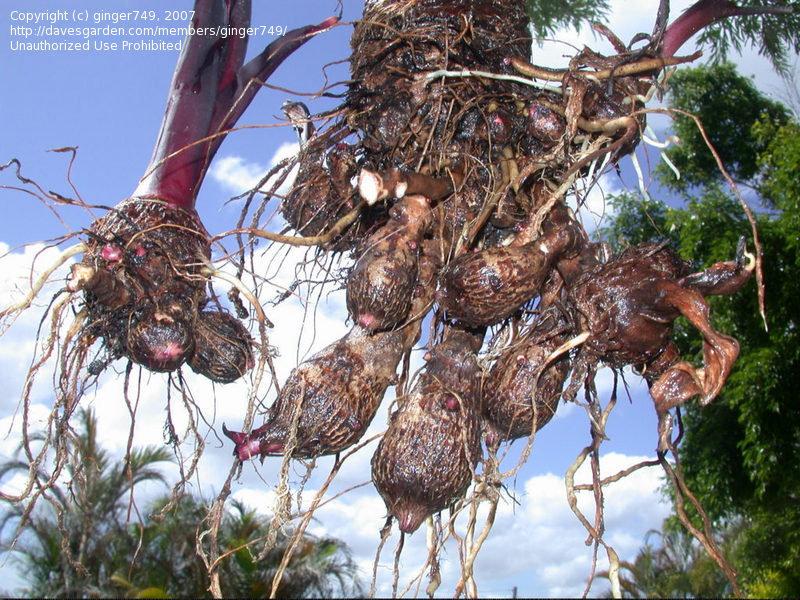 fresh harvested taro