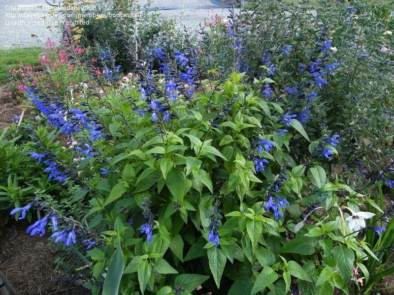blue salvia blooms