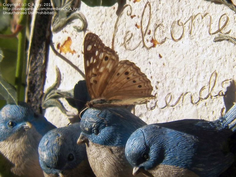 bluebirds with butterfly on their head