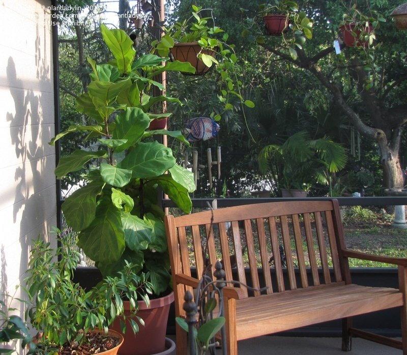 fiddle leaf fig on a patio