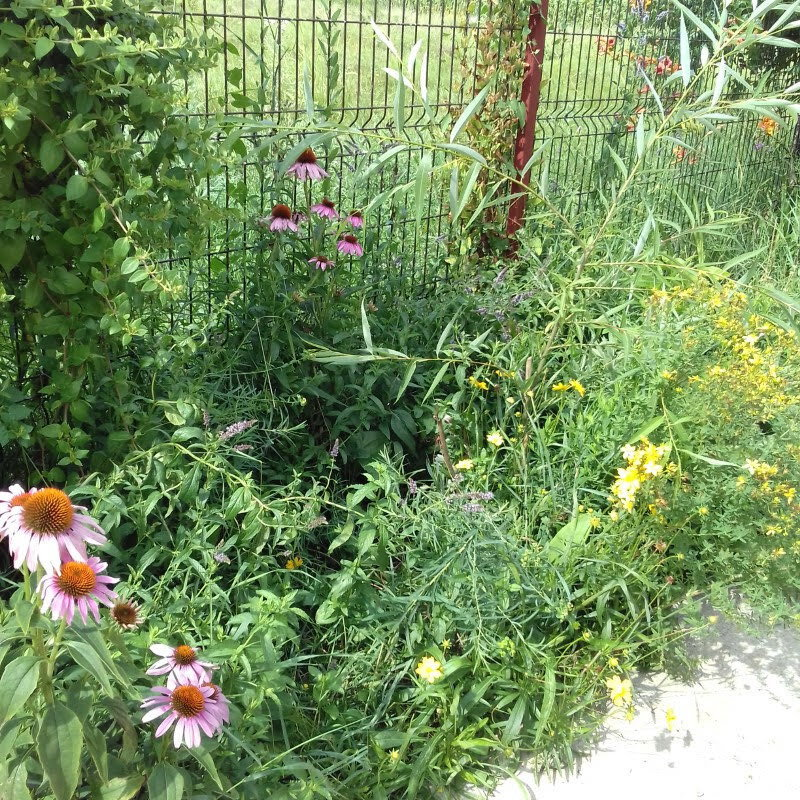Two year old willow with 7 branches growing in the middle of my echinacea flower bed.