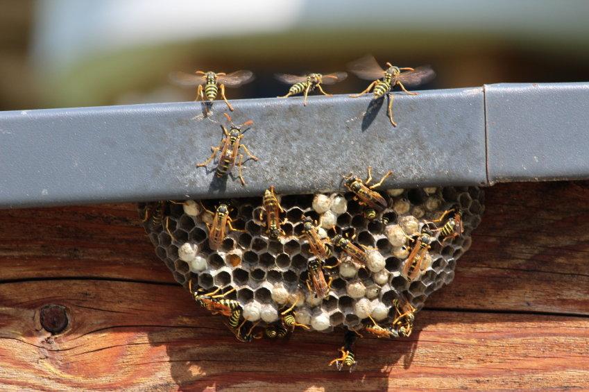 Group of wasps swarming around their nest