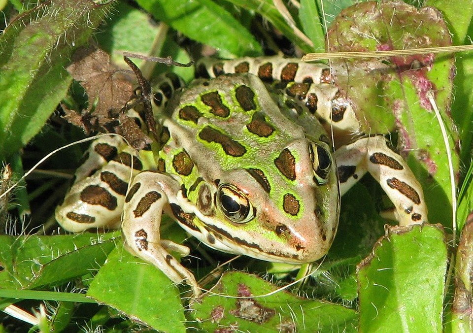 spotted toad in foliage