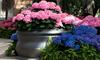 home garden with hydrangeas