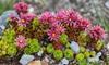 flowering Elfin Thymus Praecox in a rock garden