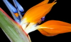 Magnificent specimen of a bird-of-paradise (Strelitzia reginae).