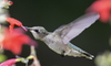 humming bird eating from a flower